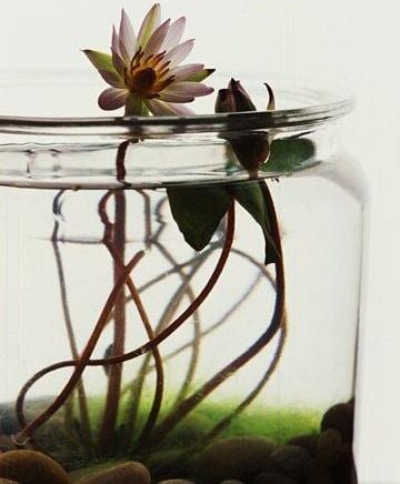 plantas de agua para interiores pequeñas