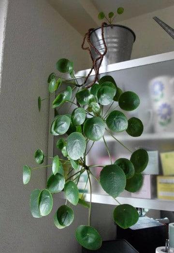 plantas de sombra para oficina venenosas