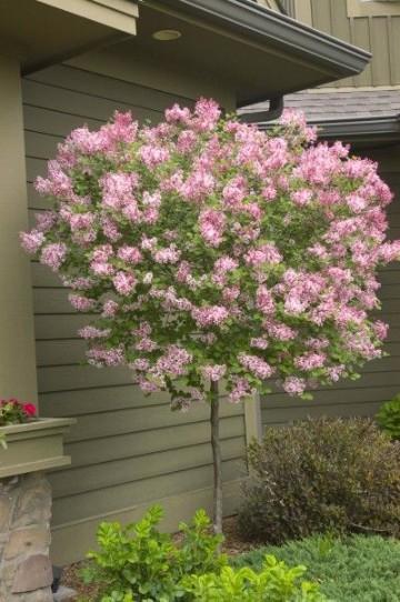arboles ornamentales para jardin pequeños