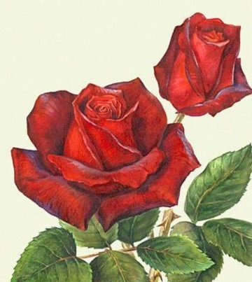 cuadros de rosas al oleo sin fondo