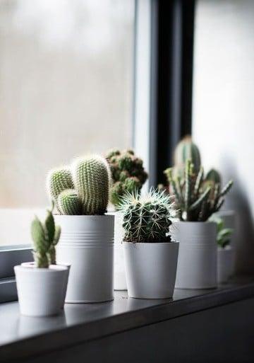 beneficios de los cactus en casa en envases