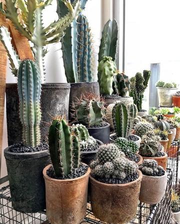 beneficios de los cactus en casa en vasijas