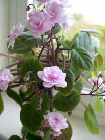 modelos de plantas de interior con flor
