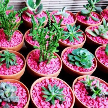 plantas de sombra con flores suculenntas
