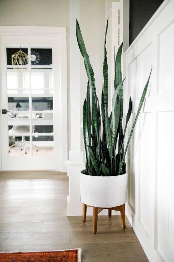 plantas de sombra para sala sansevieria