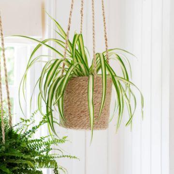plantas de interior colgantes cinta