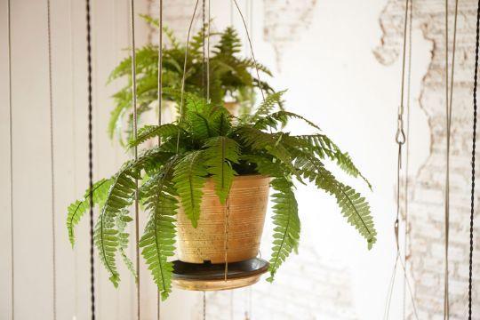 plantas de interior colgantes helechos