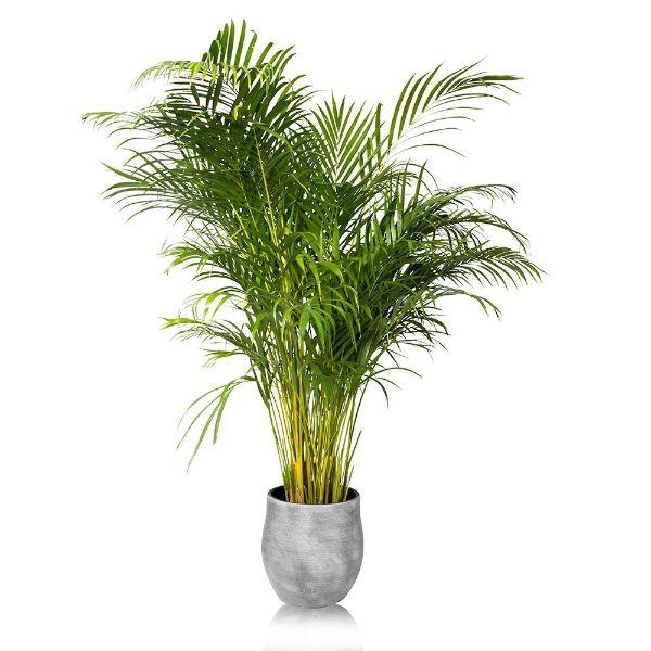 plantas de interior grandes palma