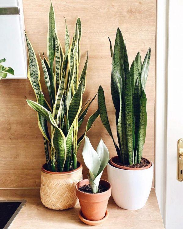 decoracion con plantas de interior sansevieria en repisas